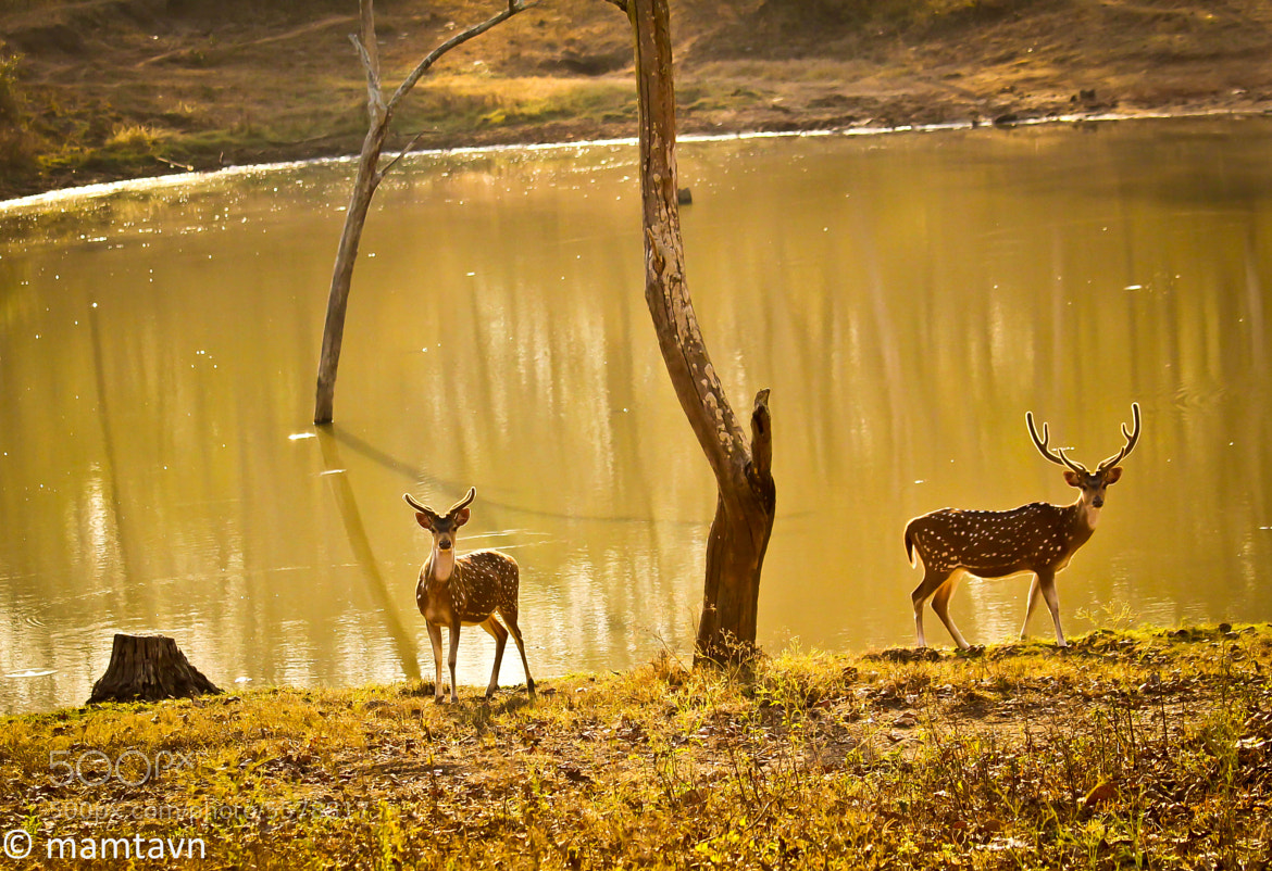 Photograph spotted deer by Mamatha Rao on 500px