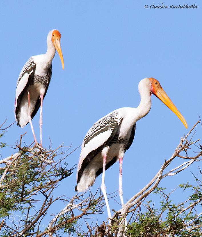 Photograph Painted Storks  by Chandra Kuchibhotla on 500px