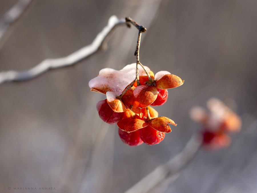 frozen bittersweet bush berries