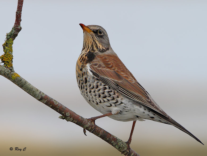 Photograph Fieldfare by Roy Churchill on 500px