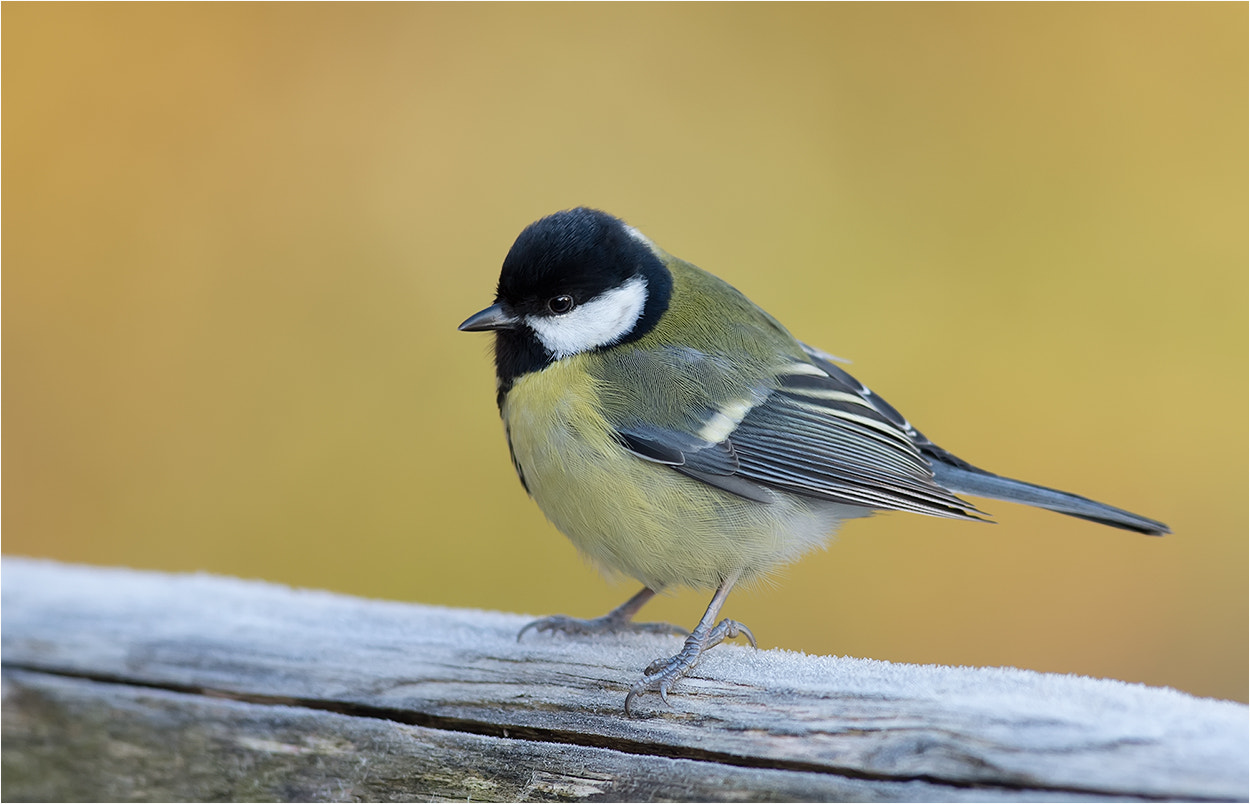 Photograph Great Tit / Kohlmeise by Hans Rentsch on 500px