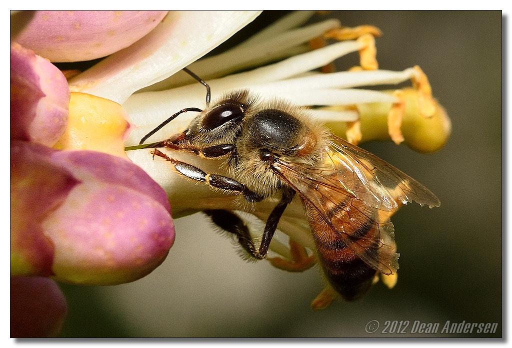 Photograph Busy Bee by Dean Andersen on 500px