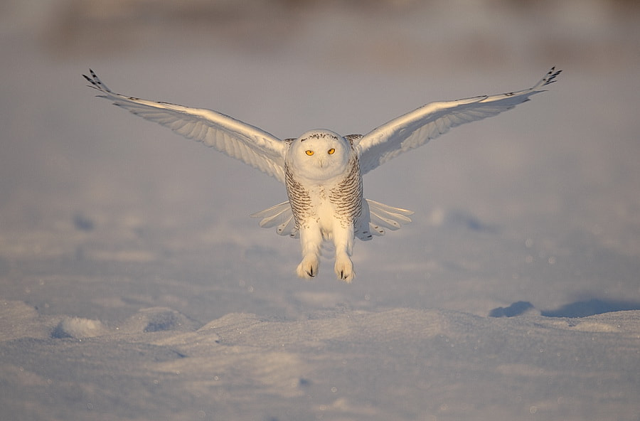 Photograph Snowy Owl by peter  makuch on 500px