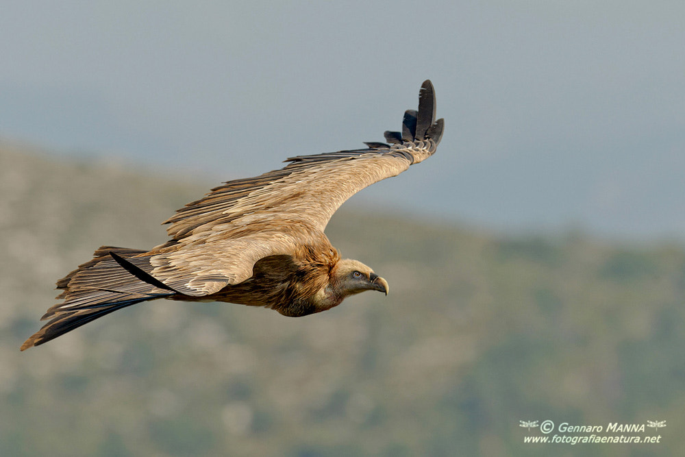 Photograph Grifone (Gyps fulvus) by Gennaro Manna on 500px