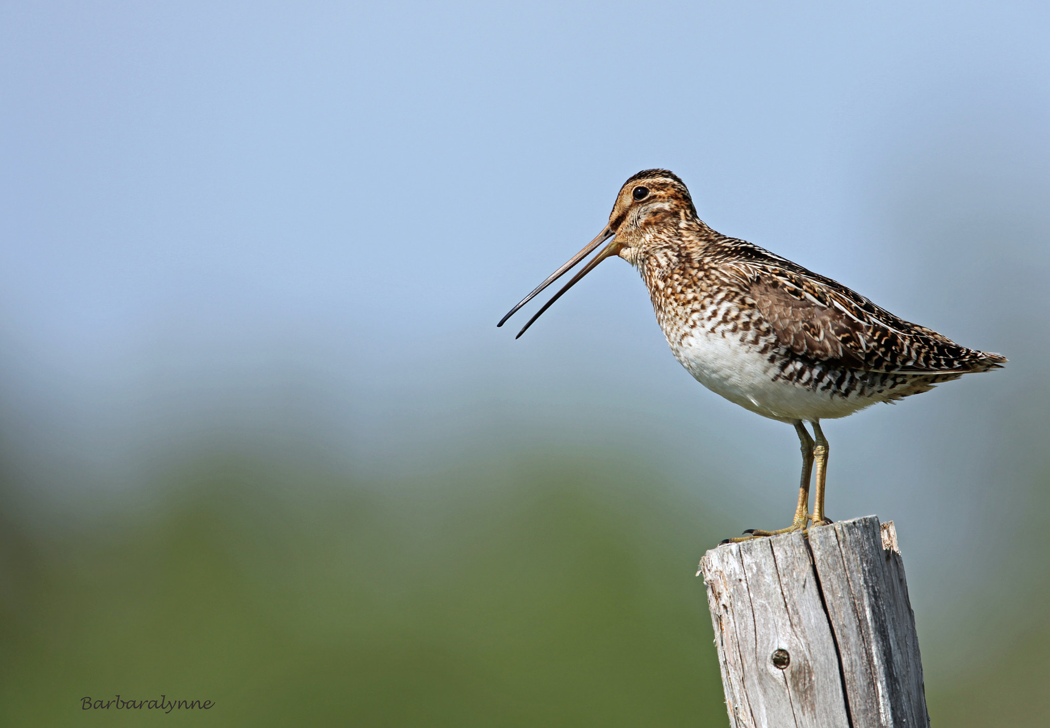 Photograph Wilson's Snipe by Barb D'Arpino on 500px