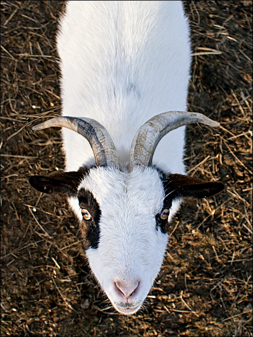 Photograph Goat Symmetry by RobN 185 on 500px