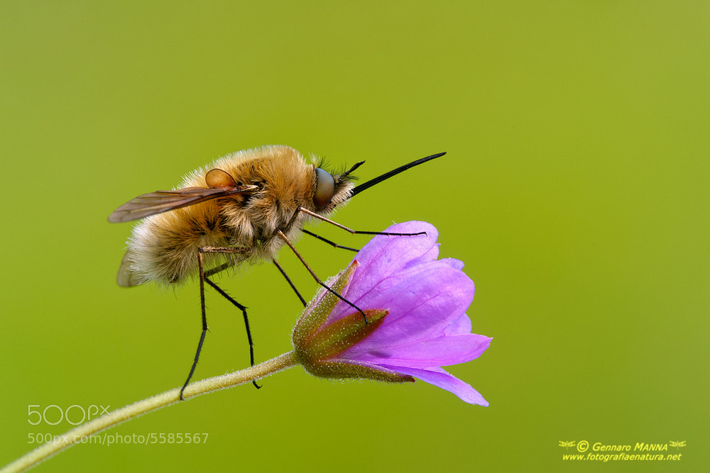 Photograph Bombylius major by Gennaro Manna on 500px