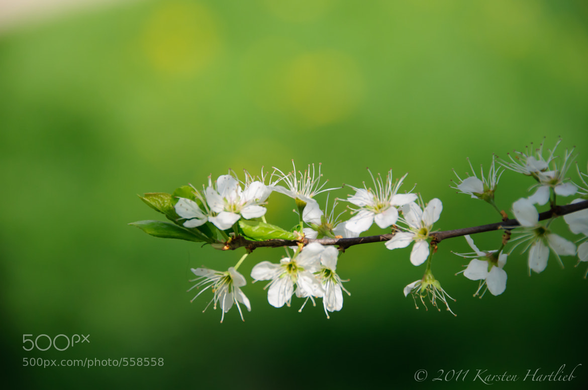 Photograph Blossoms by Karsten Hartlieb on 500px