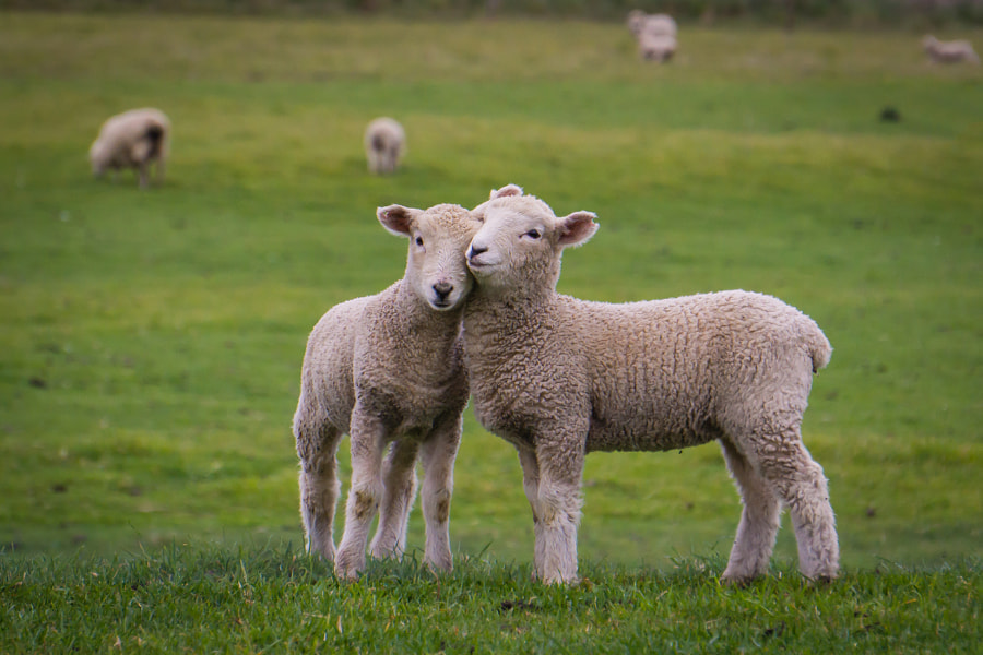 Photograph I Love Ewe by Curtis Simmons on 500px