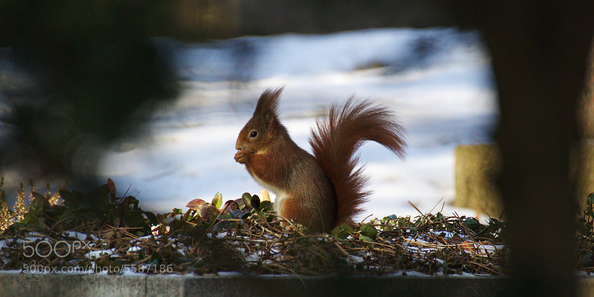 Photograph The Squirrel by Simon Spannagel on 500px