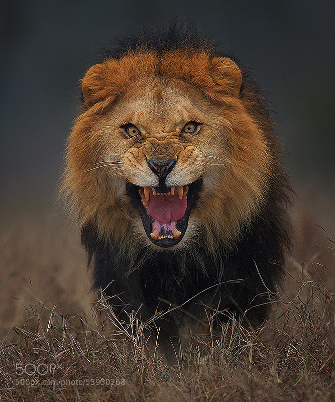 Photograph angry king.. by Atif Saeed on 500px