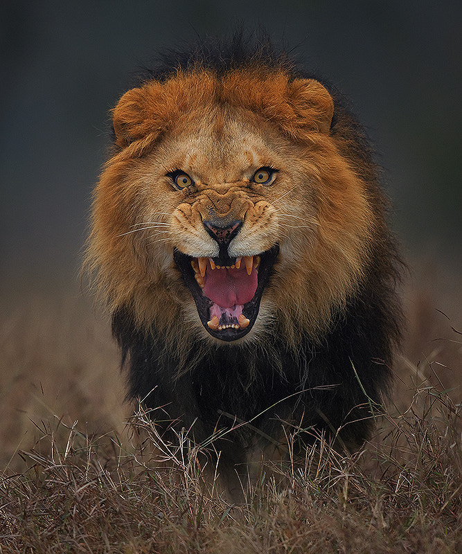 angry king.. by Atif Saeed on 500px.com