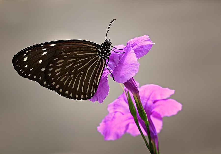 Photograph butterfly by shikhei goh on 500px
