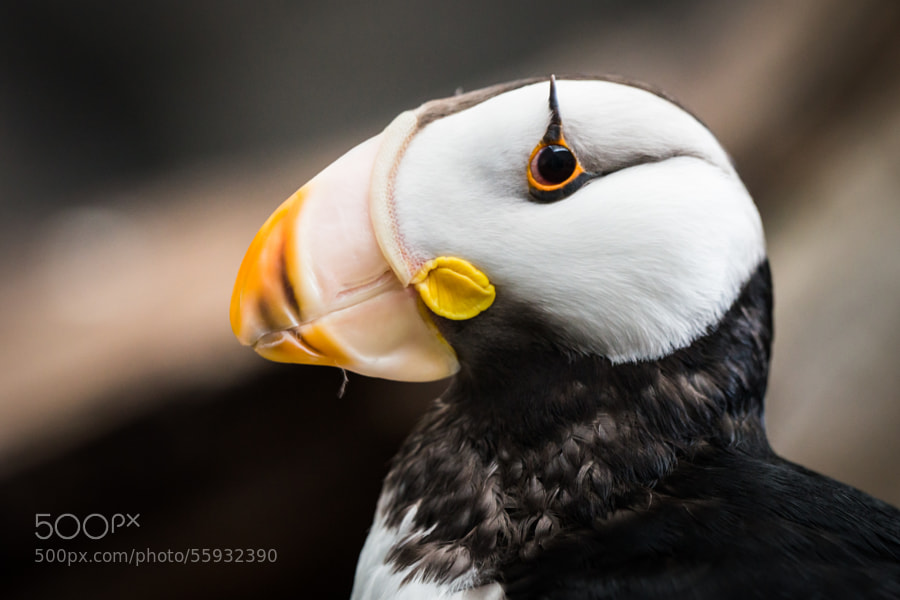 Photograph Horned Puffin by Cedric Favero on 500px