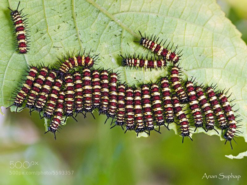 Photograph หนอนผีเสื้อกะทกรกธรรมดา;Larva  by Anan Suphap on 500px
