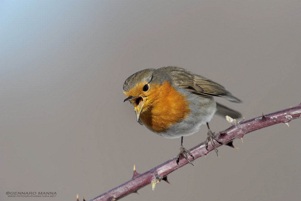 Photograph Erithacus rubecula by Gennaro Manna on 500px