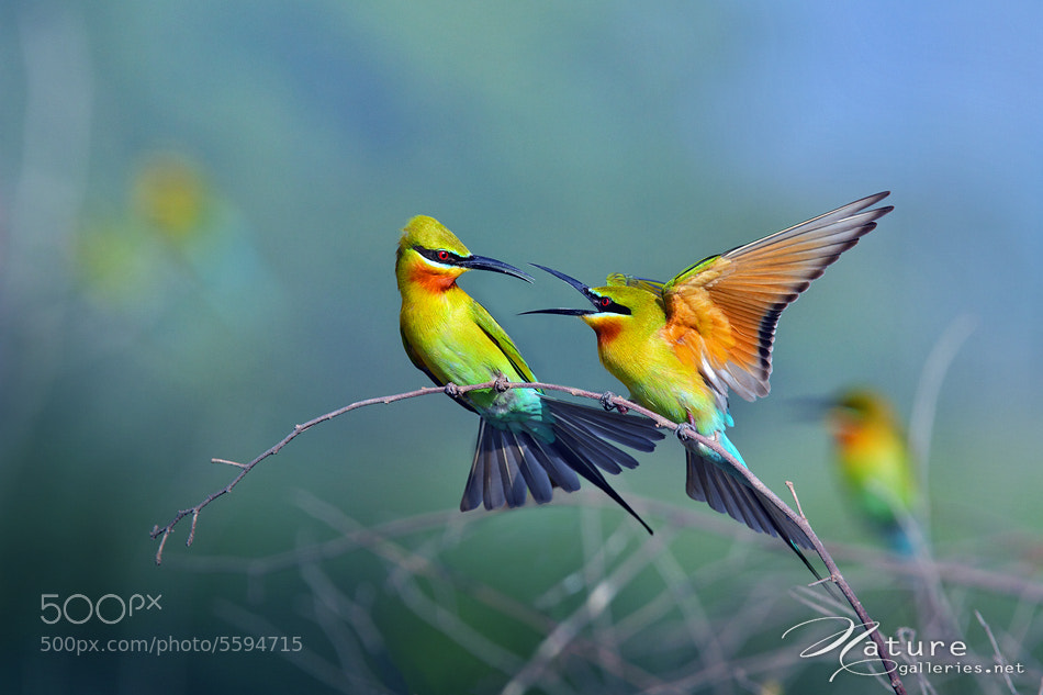 Photograph Blue-tailed Bee-eater by Sasi - smit on 500px
