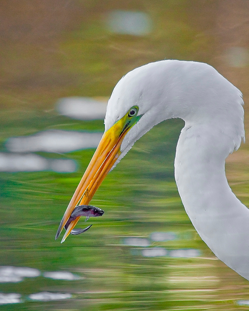 Photograph Great Egret with Fish by Miguel Angel Leyva on 500px