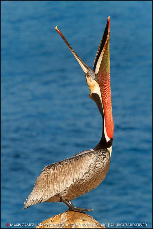 Photograph California Brown Pelican - San Diego Workshop by Maxis Gamez on 500px