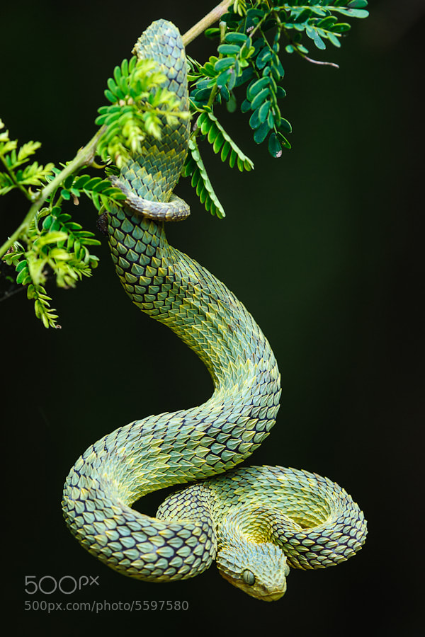 Photograph Variable Bushviper by Roger de la Harpe on 500px