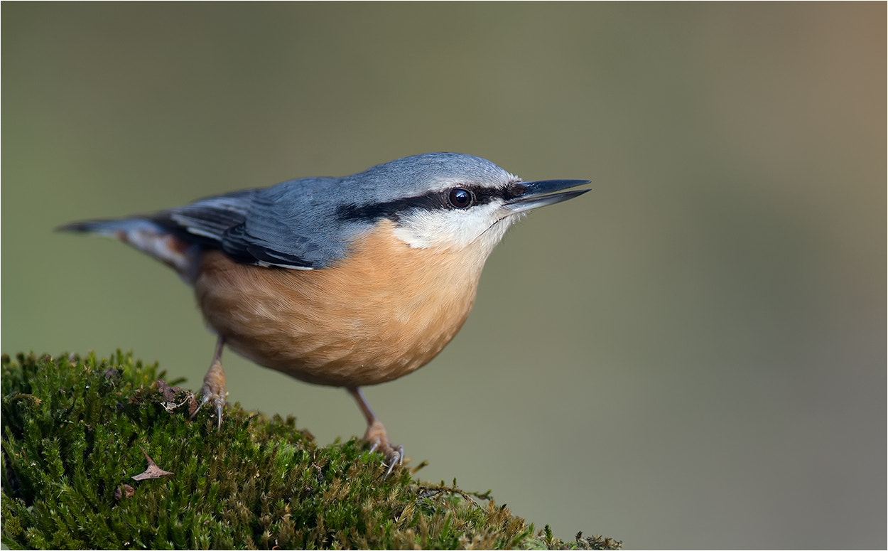 Photograph nuthatch / Kleiber by Hans Rentsch on 500px