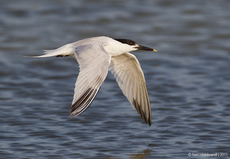 Photograph Sandwich Tern by Axel Hildebrandt on 500px