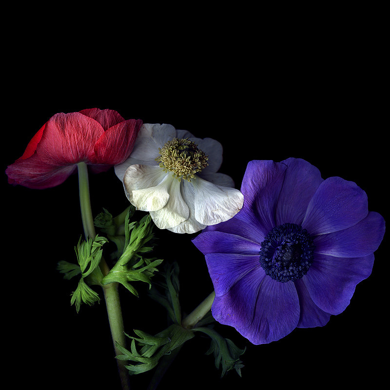 Photograph  TRICOLORE... les Anemones by Magda Indigo on 500px