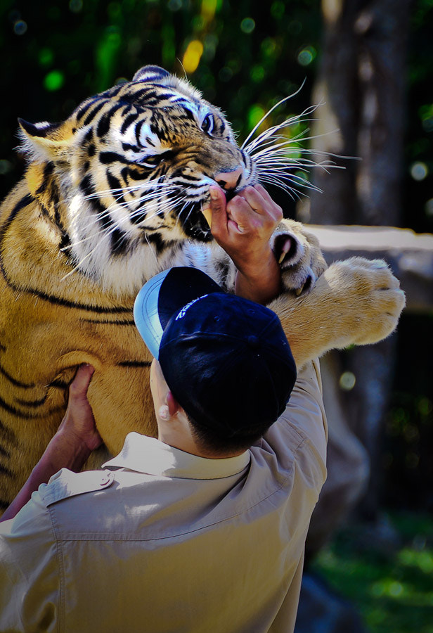 Photograph Tiger show by Rudy Hery Kurniawan on 500px