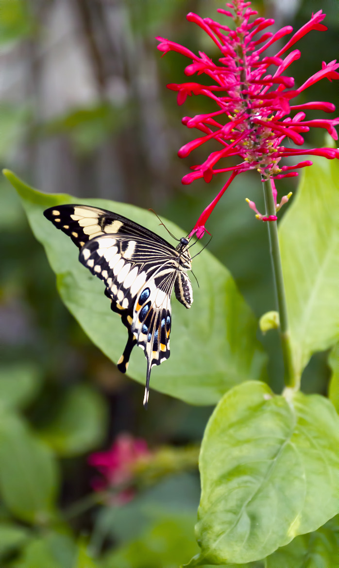 Photograph Swallowtail Butterfly by Linda Tiepelman on 500px