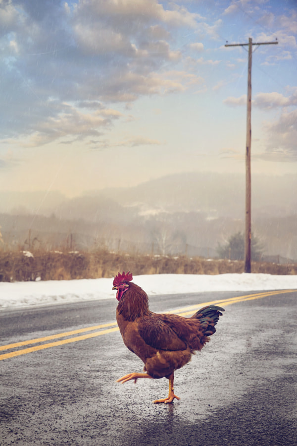Why Did the Chicken Cross the Road? by Kim Zier on 500px.com