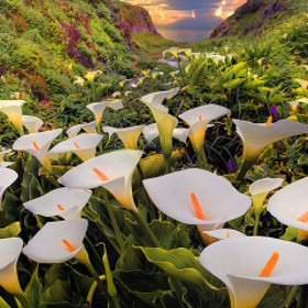 Cala Lilies In Garrapata State Park by Kevin McNeal (kevinmcneal) on 500px.com