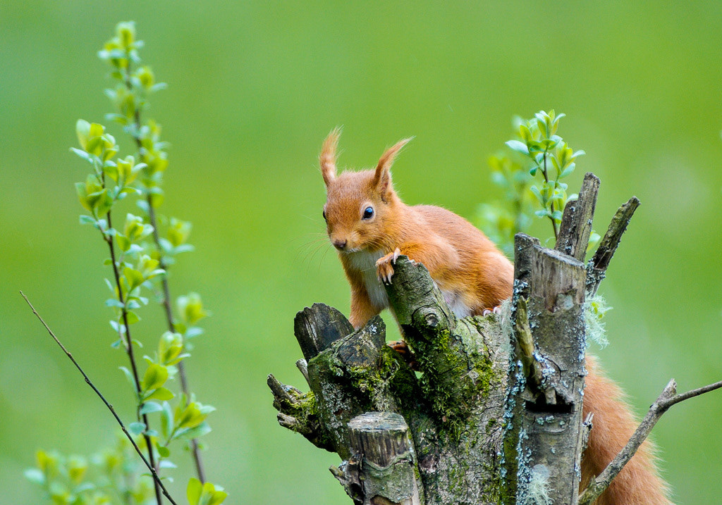 Photograph Red squirrel by John  on 500px
