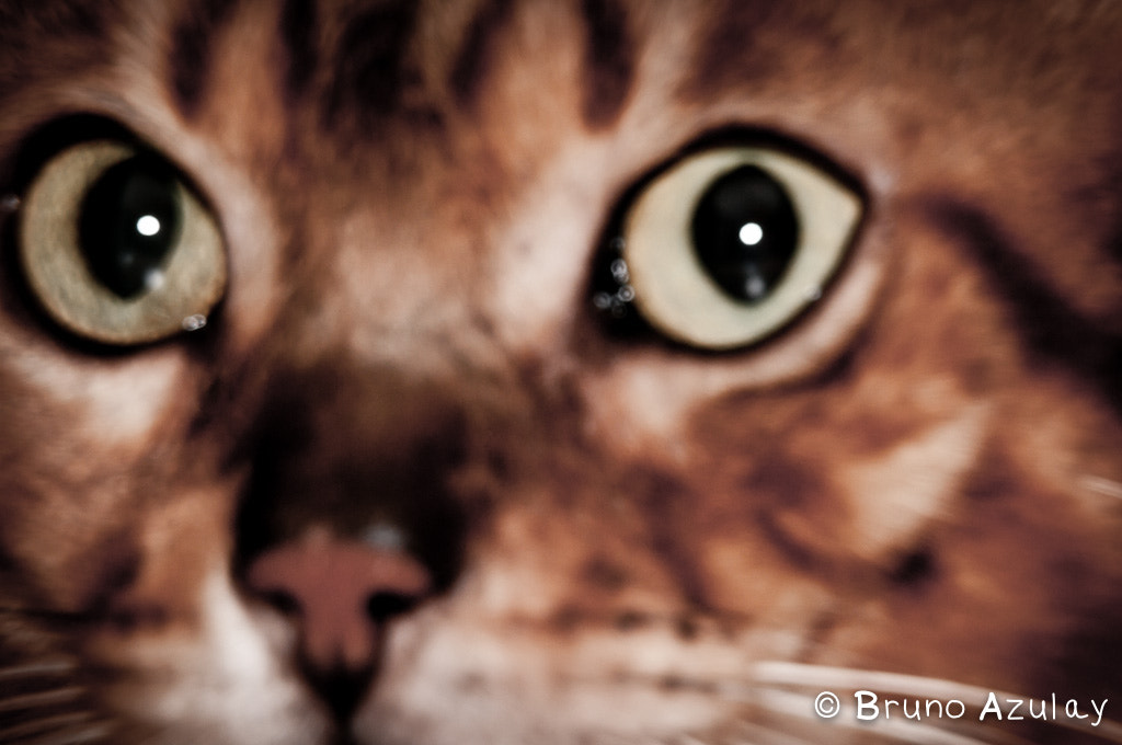 Photograph Bengal Cat by Bruno AzuLay on 500px