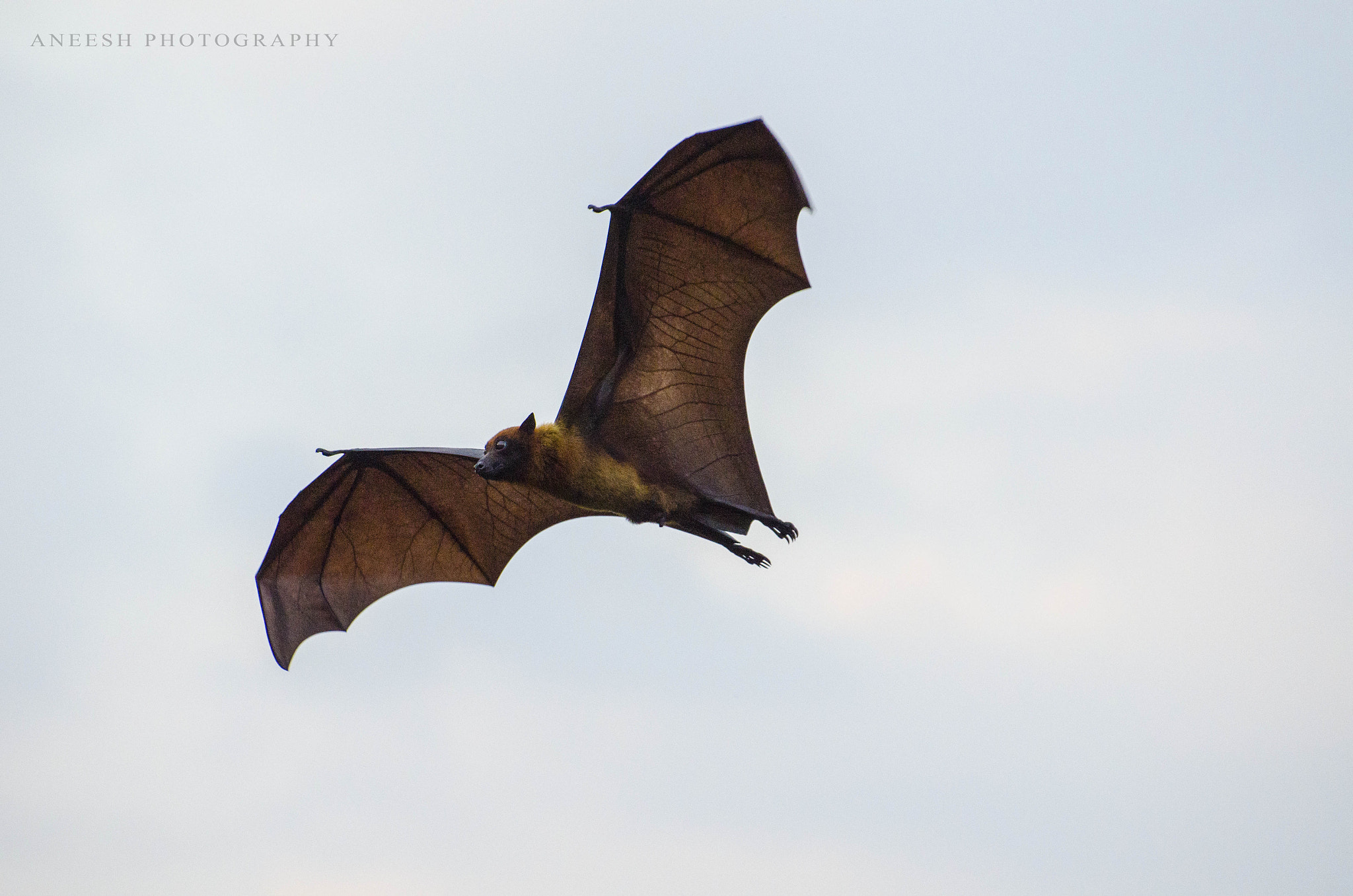Photograph Flying Fox.. by Aneesh BR on 500px