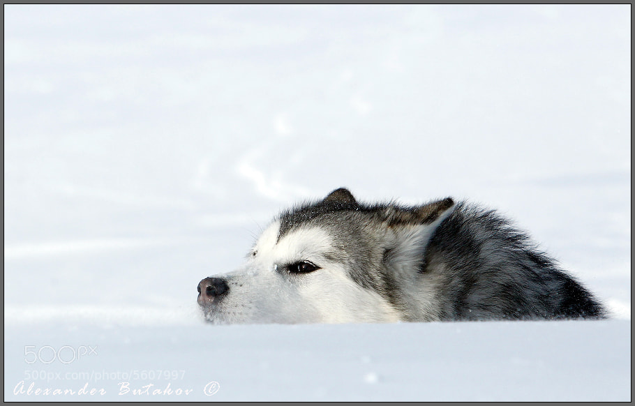 Photograph Call of the Wild ... lurking :-) by Snow Bear on 500px