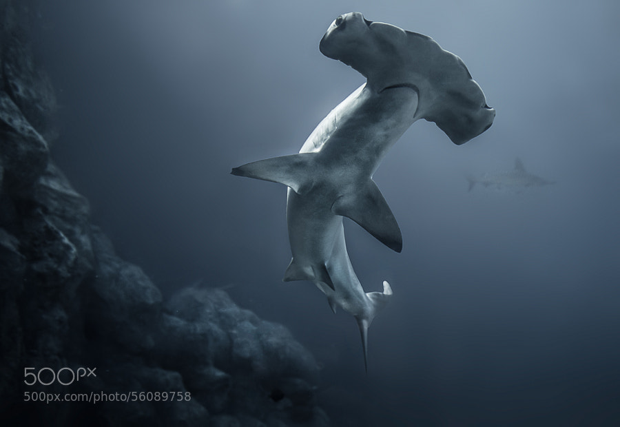 Photograph Hammerhead Shark by Rick White on 500px