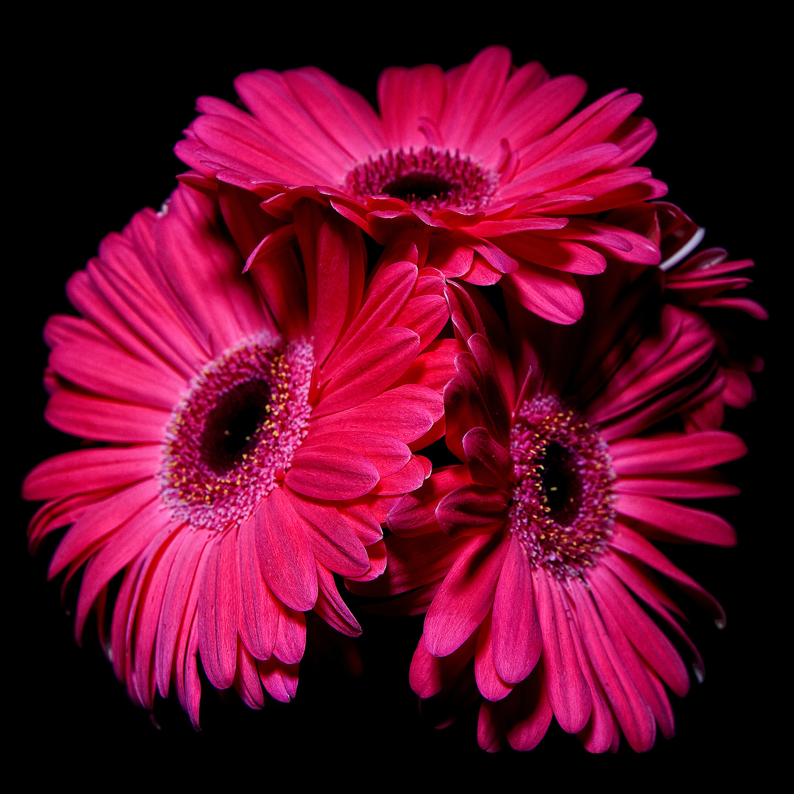 Photograph Pink Gerbera closeup by childress photography on 500px