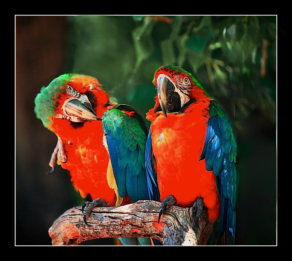 Photograph Scarlet Macaw's in love by MANOJ Jayadevan on 500px