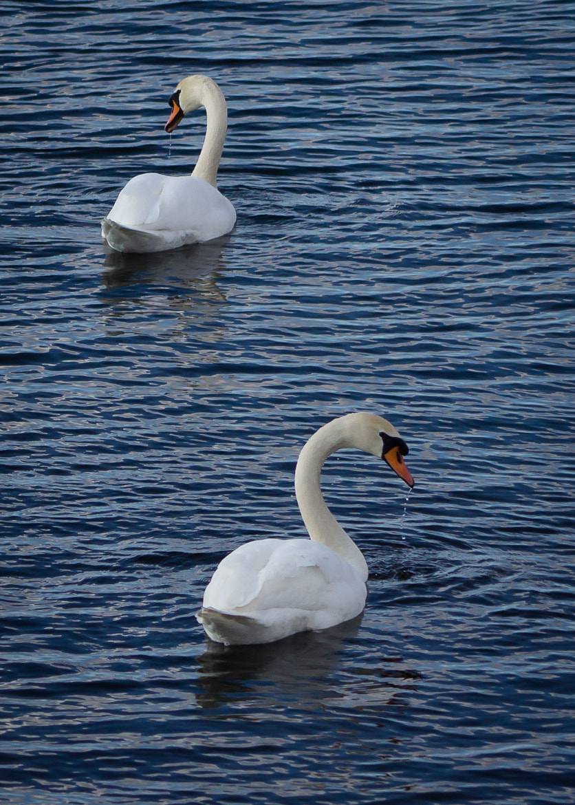 Photograph Swans by Robert Clark on 500px