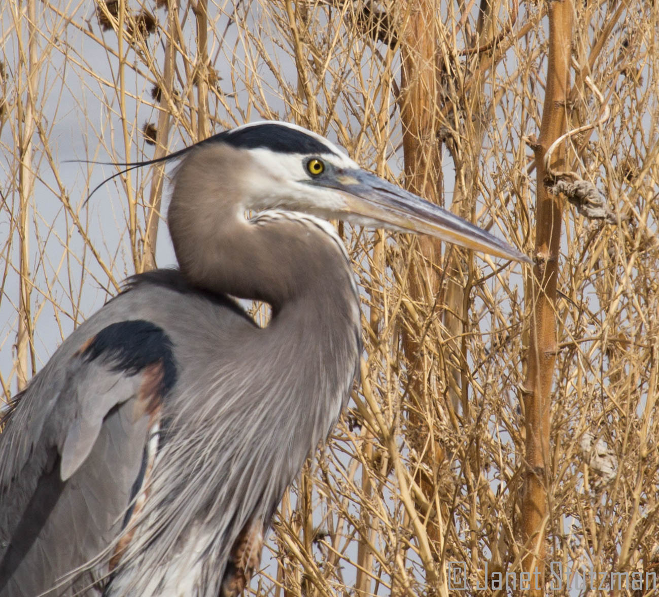 Photograph Great Blue Heron close-up by Janet Stutzman on 500px