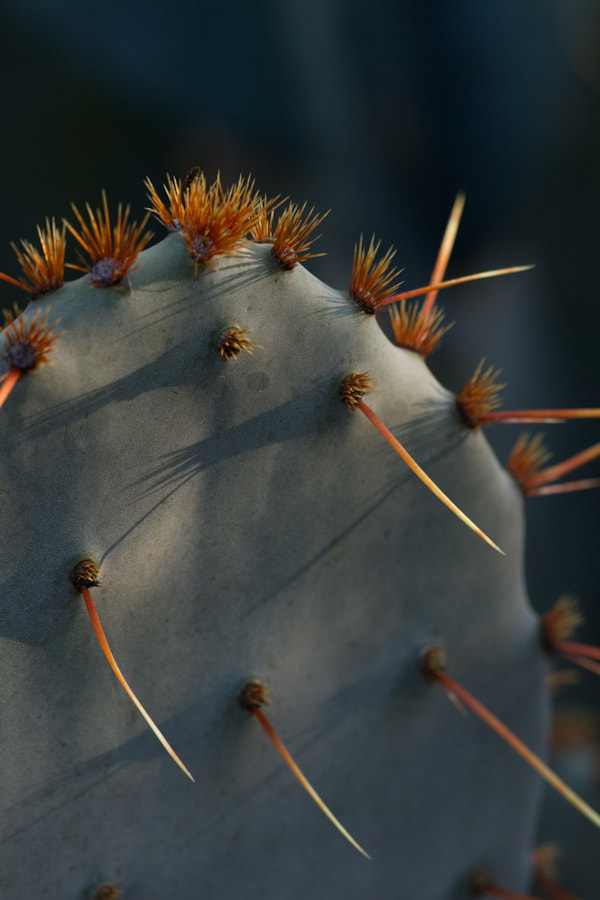Photograph Prickly Pear by Cal Holman on 500px
