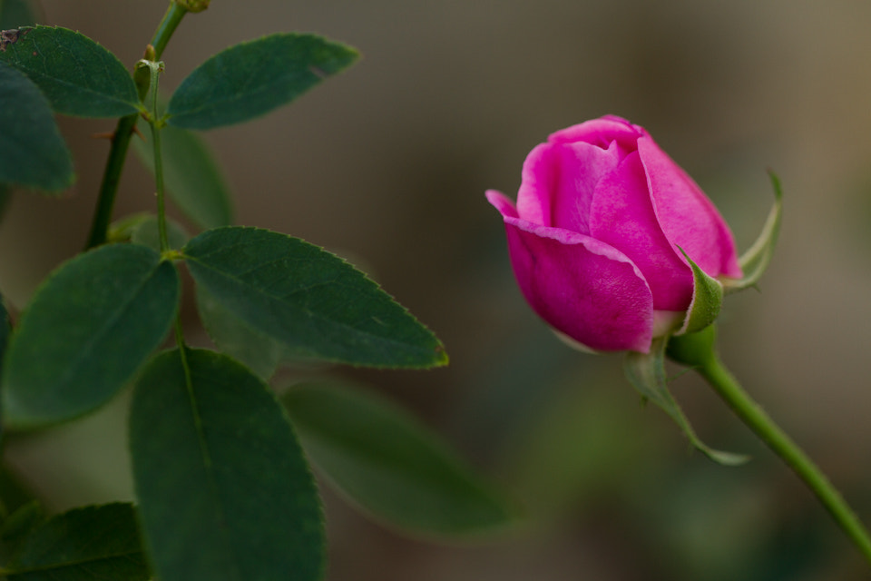 Photograph Lonely Rose by Cal Holman on 500px