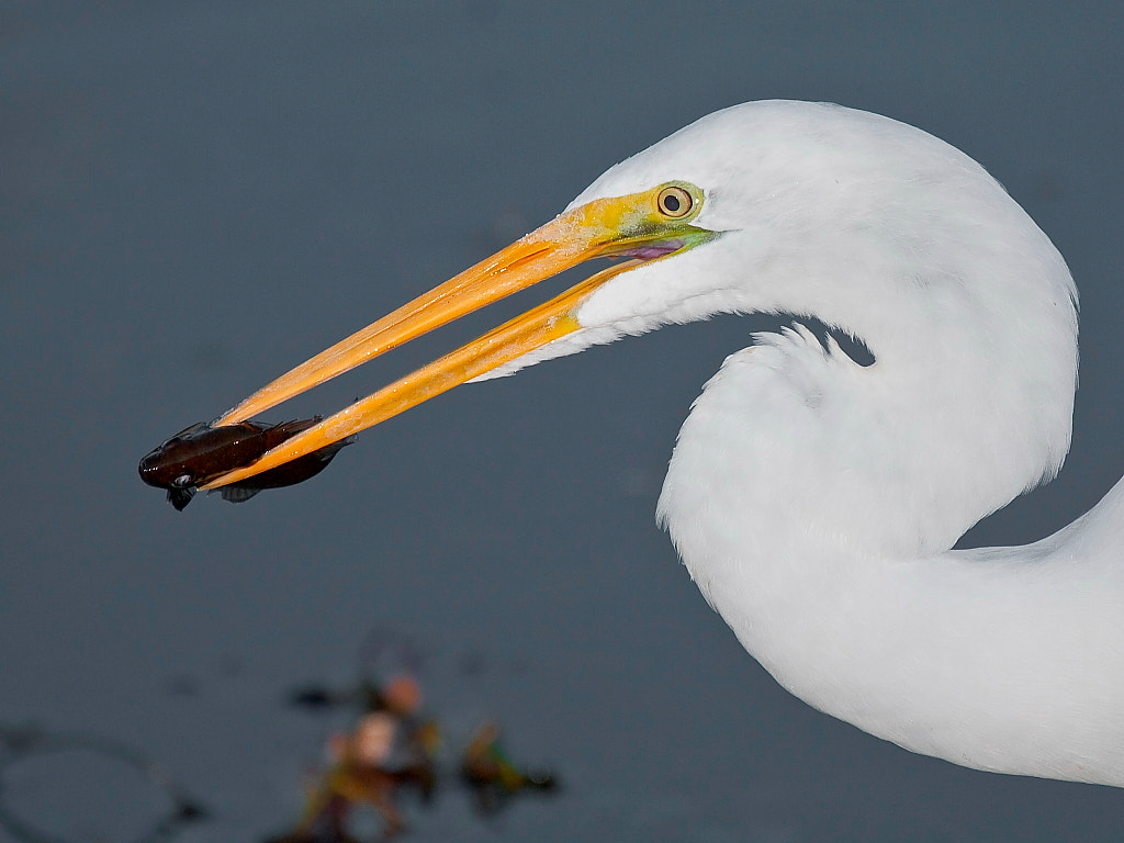 Photograph Great Egret and Fish by Miguel Angel Leyva on 500px