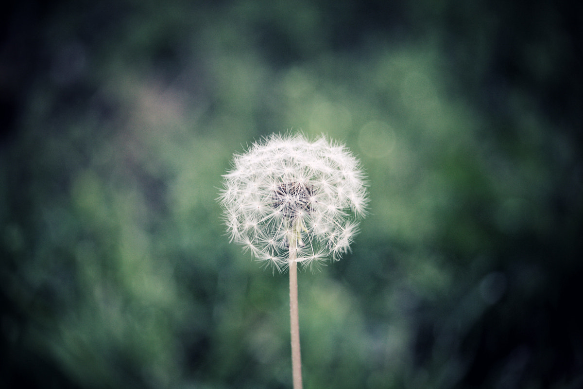 Photograph Dandy by Ricky Thao on 500px