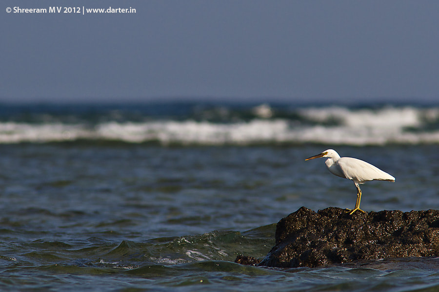 Photograph Pacific Reef Egret  by Shreeram M V on 500px