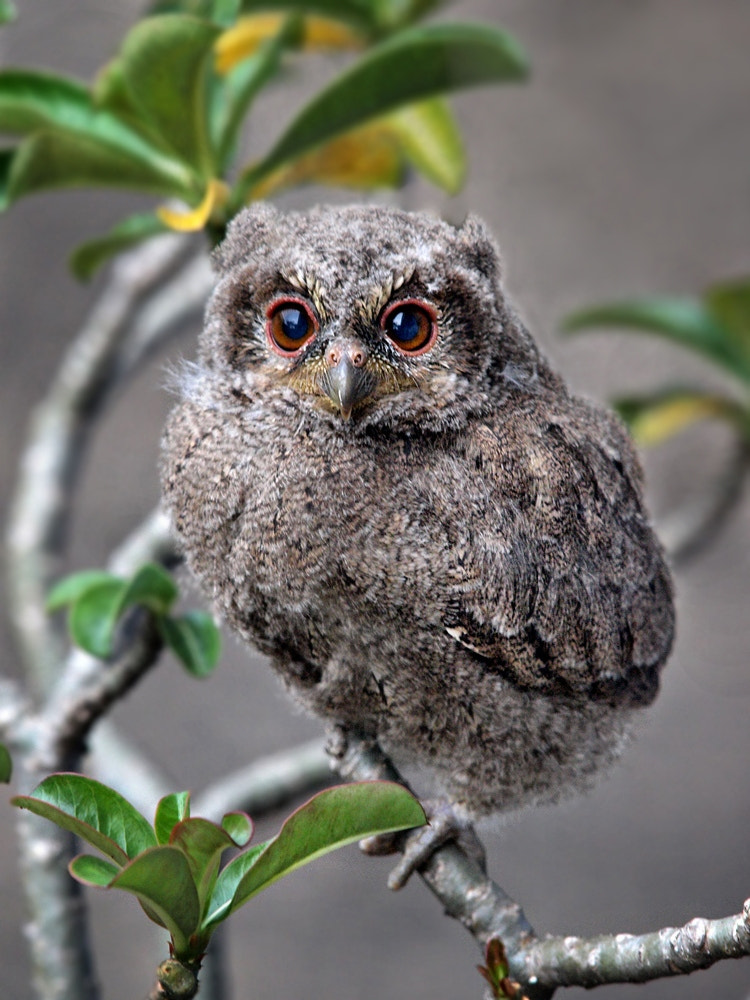 Photograph Sunda scops owl by Irawan Subingar on 500px