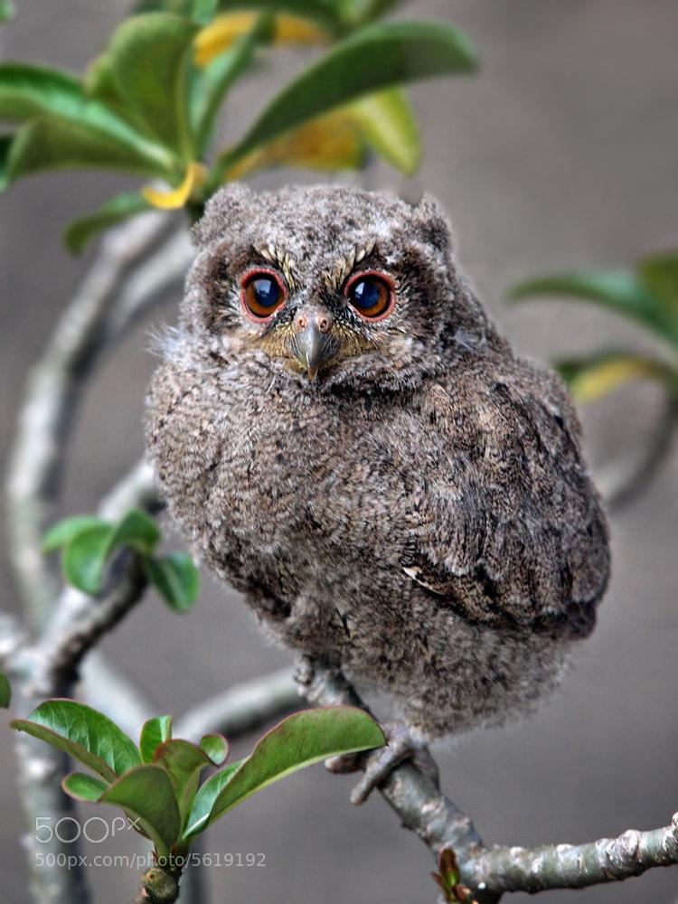 Photograph Sunda scops owl by Irawan Subingar on 500px