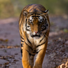 Always dreamt of clicking a Tiger walking towards me on the vehicle track at Bandhavgarh. Finally got it after going there for over seven years :)