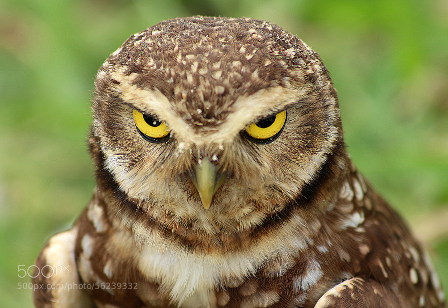 Photograph Angry Owl by Leonardo Casadei on 500px
