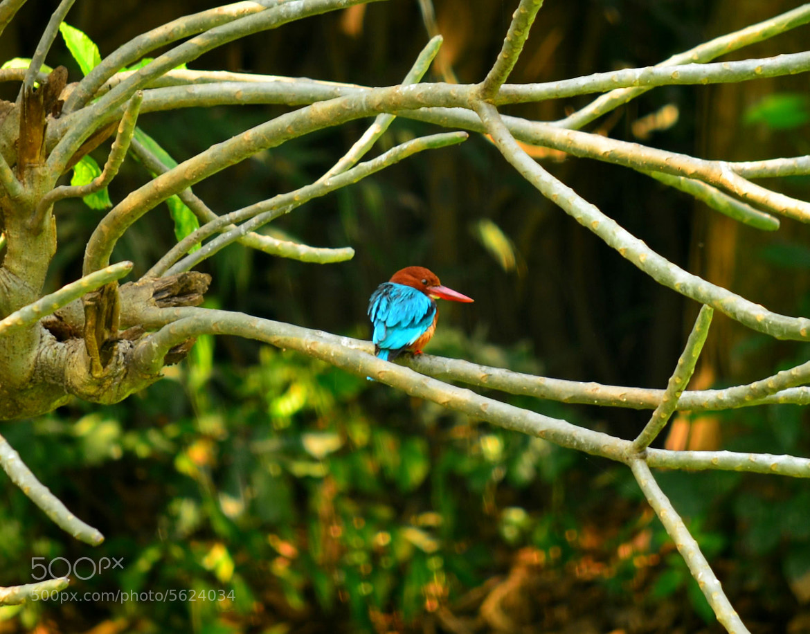 Photograph Common Kingfisher. by Palash K on 500px